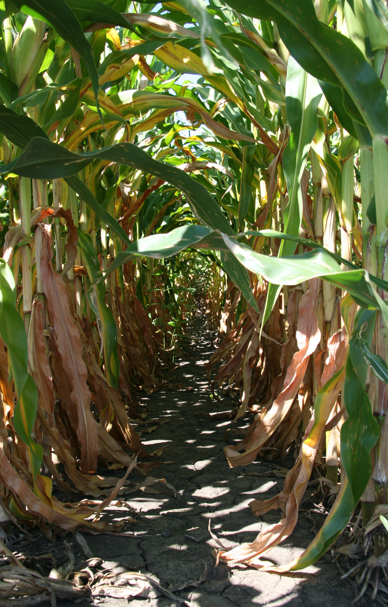 image of Between corn rows