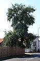 Bezno, Elaeagnus angustifolia.jpg
