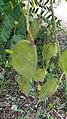 Biancaea sappan fruit.jpg