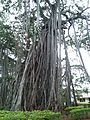Big Banyan Tree 03.jpg