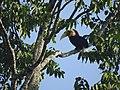 Bird Wreathed Hornbill Rhyticeros undulatus DSCN9018 27.jpg