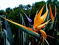 Bird of paradise -- Strelitzia.jpg