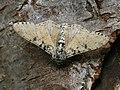 Biston betularia - Peppered moth - Пяденица берёзовая (40879649762).jpg