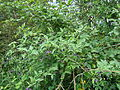 Bittersweet Solanum dulcamara Big Waters 1.jpg