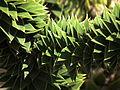 Blätter einer Araukarie.JPG