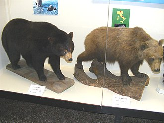 American black bears can be distinguished from brown bears by their smaller size, their less concave skull profiles, their shorter claws and the lack of a shoulder hump. Black&brownbears.JPG