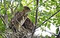 Black-crowned Night-Heron young (48432089986).jpg