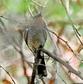 Black-headed Cuckooshrike (Coracina melanoptera)- Female W IMG 7597.jpg