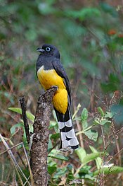 Black-headed Trogon-Trogon melanocephalus-Male.jpg