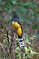 Black-headed Trogon-Trogon melanocephalus-Male.jpg