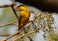 Black-naped Oriole eyeing on Lannea coromandelica fruits W IMG 7451.jpg