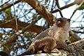 Black-tailed Marmoset (Callithrix melanura) male obviously ... (31447655120).jpg