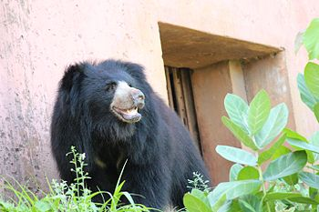 Black Bear 2 at Indira Gandhi Zoological Park, Visakhapatnam.jpg