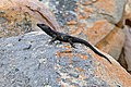 Black Girdled Lizard (Cordylus niger) (32909352906).jpg