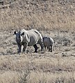 Black Rhinos (Diceros bicornis bicornis) female and young ... (32573821475).jpg