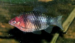 Black Ruby Barb 700.jpg