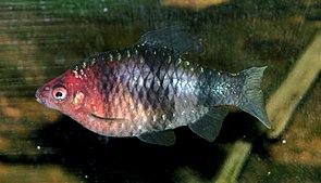 Purpurkopfbarbe (Barbus nigrofasciatus)