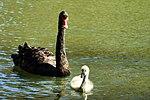 Black Swan and Cygnet - Leeds Castle (17103451678).jpg