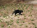 Black cat (2901924188).jpg