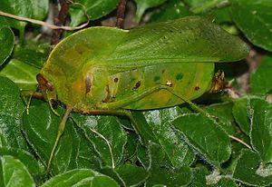 Pneumoridae - Bullacris intermedia