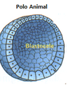 Blastula polo animal.png