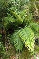 Blechnum novae-zelandiae kz10.jpg