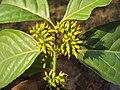 Blepharistemma serratum at Periya (11).jpg