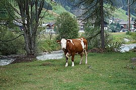 Blickende Kuh auf einer Weide bei St. Jakob in Defereggen 22082019 004.jpg