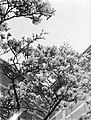 Bloeiende magnolia bij het Rijksmuseum, Bestanddeelnr 252-1533.jpg