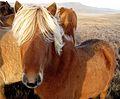 Blond (Icelandic Horses) Have More Fun (3004576609).jpg