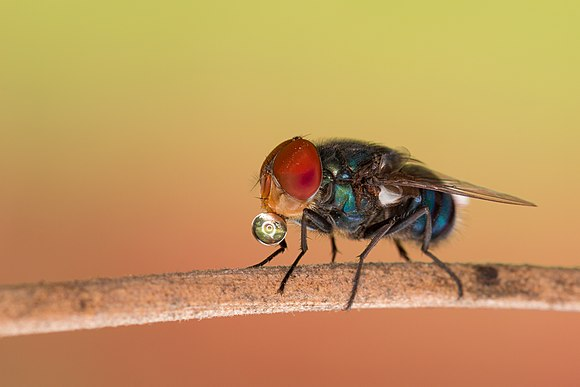 Blue Bottle Fly 10.jpg