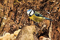 Blue Tit - Lackford Lakes (24633963901).jpg
