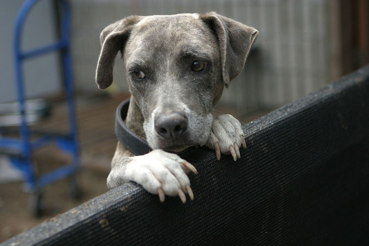 Separation Anxiety In Dogs Wikipedia