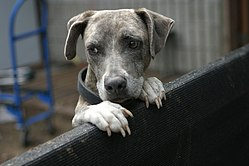 Blue brindle dog looking on a fence.jpg