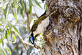 Blue faced honeyeater 2.jpg