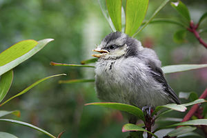 Eurasian blue tit - Juvenile in Pimlico, London