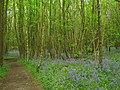 Bluebells in Kings Wood - geograph.org.uk - 1309129.jpg