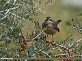 Bluethroat (Luscinia svecica) (23085241182).jpg