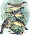 Bluethroatred.JPG
