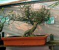 Bonsai tree elm40.JPG
