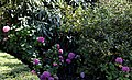 Border shrubs at Quex House Birchington Kent England 1.jpg