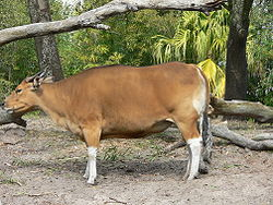 Banteng betina di Disney's Animal Kingdom