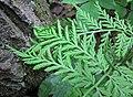 Botrypus virginianus (rattlesnake fern) (Natural Bridge State Park, northeast of Leland, Wisconsin, USA) 4 (18911608069).jpg