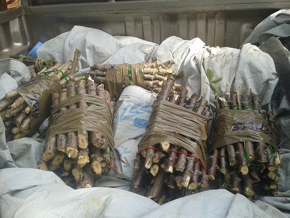 Boutures de manioc