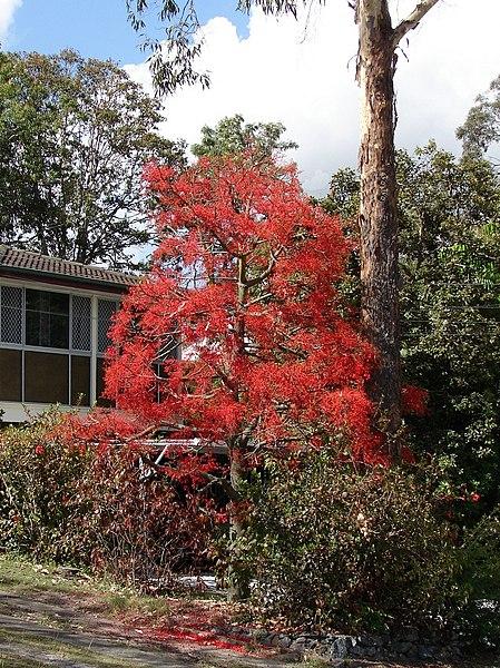 houppier et floraison du brachyton
