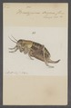 Bradyporus - Print - Iconographia Zoologica - Special Collections University of Amsterdam - UBAINV0274 066 01 0015.tif