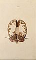 Brain; horizontal section. Coloured line engraving by W.H. L Wellcome V0008400.jpg