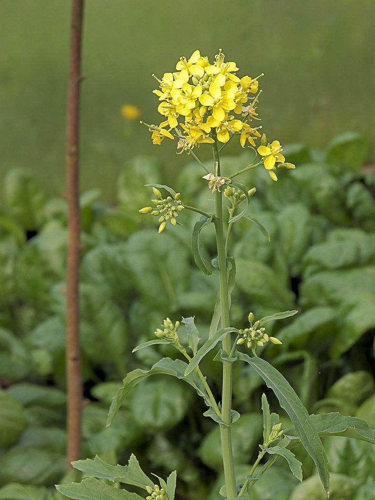 File:Brassica rapa subsp. campestris, raapstelen ...