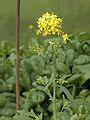 Brassica rapa subsp. campestris, raapstelen bloeiwijze.jpg