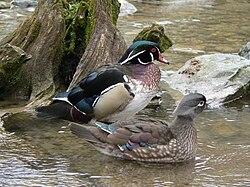 Mâle (derrière) et femelle (devant) canard carolin